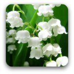 White lily of valley flowers