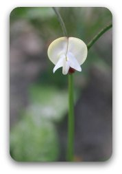 A single pink eye pea flower