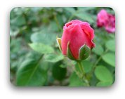 A single pink rose bud