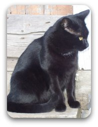 A black cat similar to Ever-Ready