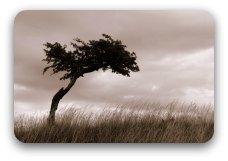 A wind-shaped tree