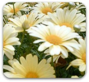 white field daisies