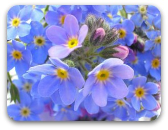 Bright blue forgetmenots