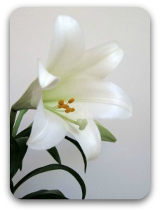 A single white Easter lily