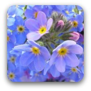 pale blue forget-me-not flowers