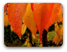 Burnt orange autumn leaves with rain drops