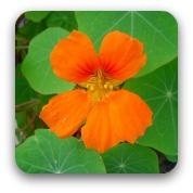 orange nastertium