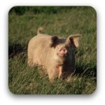 A pink pig in a paddock