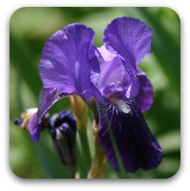 An old-fashioned single purple iris