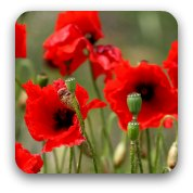 red remembrance poppies