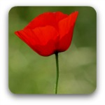 Single red poppy -thumbnail size