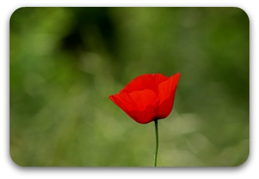 A single red field poppy