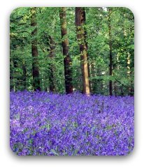 Bluebells flowering in an English wood.