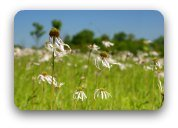 Field daisies blowing in the wind