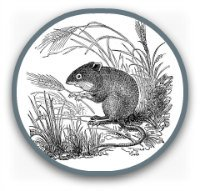 Black and white drawing of a field mouse