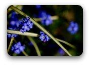 Bright blue forgetmenots