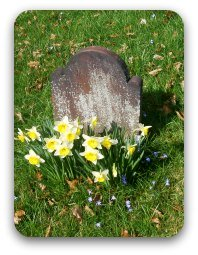 Old gravestone with daffodils