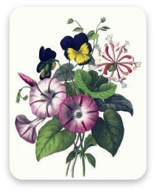Vintage morning glories and pansies