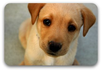 small golden puppy with big brown eyes