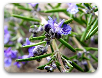 Rosemary ( the herb of remembrance) flowering