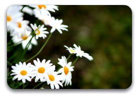 Simple white field daisies